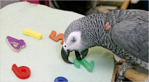 Alex, the real intelligent parrot